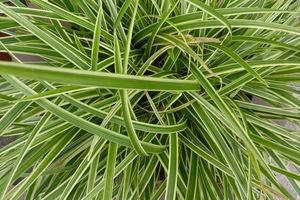 """Carex morrowii """"Ice Dance"""" - turzyca Morrowa ma bardzo wdzięczne liście z biało-kremowym paskowaniem i może służyć jako roślina okrywowa. Rośnie w cieniu"""