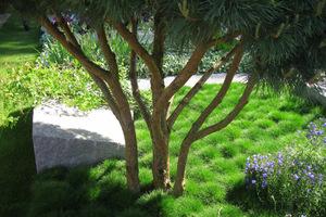 Festuca scoparia - kostrzewa miotlasta posadzona w dużej jednogatunkowej masie wygląda zjawiskowo, ponieważ tworzy niskie, zwarte, zielone poduchy, które zachowują kolor nawet zimą