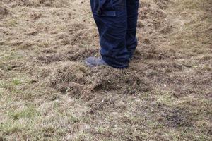 Duże ilości filcu usunięte z trawnika pomogą mu