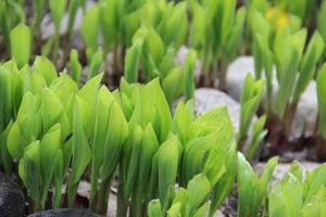Młode liście funkii (Hosta) chronimy przed ślimakami