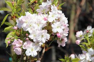 "Prunus serrulata ""Amanogawa"" o kolumnowym pokroju"