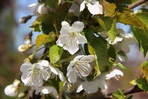 """Prunus avium """"Regina"""" - czereśnia """"Regina"""""""