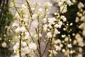 "Prunus glandulosa ""Alba Plena"""