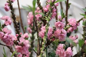 """Prunus persica """"Pink Peachy"""""""