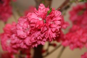 """Prunus persica """"Taoflora Red"""""""
