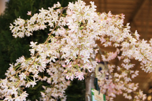 "Prunus subshirtella ""Pendula Rubra"""