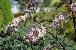 """Prunus padus """"Colorata"""""""