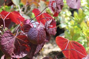 """Cercis canadensis """"Forest Pansy"""" - liście jesienią"""