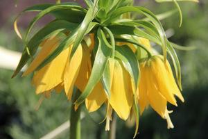 Fritillaria imperialis 'Lutea'  ma żółte kwiaty, fot. Danuta Młoźniak