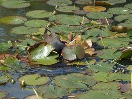 Wodne ptactwo wije gniazda na wodzie