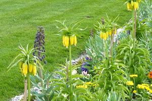 Tutaj widać obok inną szachownicę - czarną Fritillaria persica (szachownica perska), fot. Danuta Młoźniak