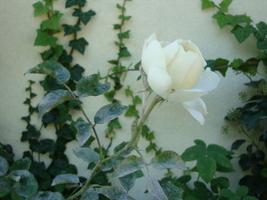 Objawy mączniaka róży