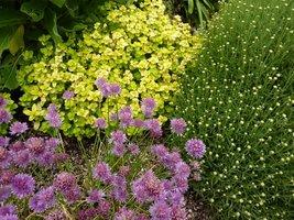 Żółte oregano i szczypiorek z kwiatami