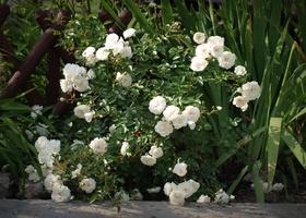 'Swany' - najpopularniejsza biała róża okrywowa