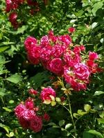 'Rody' - róża krzewiasta o cechach róży okrywowej