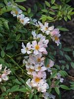'Weisse Immensee' - róża osiagająca bardzo dużą rozpiętość, często spotykana w nasadzeniach parkowych