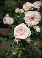 'Aspirin-Rose' - wielokwiatowa róża okrywowa, z certyfikatem jakości ADR za 1995 rok