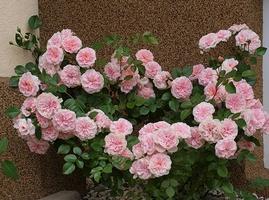 'Granny' - wszyscy już chyba wiedzą, że to moja ulubiona róża okrywowa