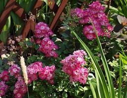 'Degenhard' - róża o niewielkich rozmiarach