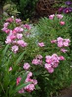 'Lavender Dream' - jedna z większych róż okrywowych. ADR - 1987 r.
