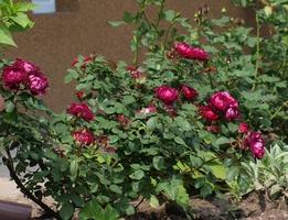 'Cardinal Hume' krzewiata róża o rozłożystych pędach