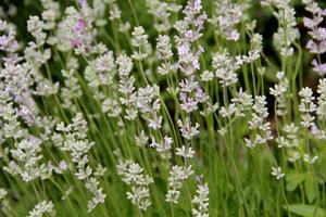"""Lavandula angustifolia """"Alba"""""""
