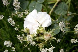Biała lawenda i biała róża - zgrany duet