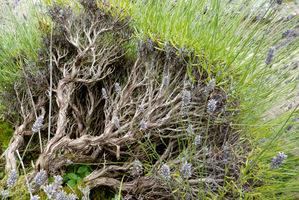 """Tego krzewu raczej nie da się odmłodzić, ponieważ lawenda słabo """"odbija"""" ze starego drewna"""
