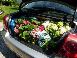 Bagażnik całkowicie zapełniony hortensjami