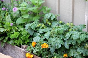 Kolejne skrzynie tym razem ze starych, spatynowanych desek. Rosną w nich zioła, warzywa i jednoroczne aksamitki