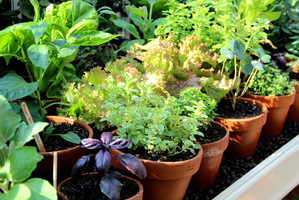 W małe doniczki sadzimy pojedyncze zioła i systematycznie podlewamy