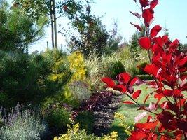 Na letniej rabacie dobrze wyglądają krzewy o kolorowych liściach  (tutaj perukowiec, odm. o purpurowym zabarwieniu)