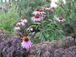 Echinacea purpurea, Sedum spectabile (Jeżowka i rozchodnik okazały)