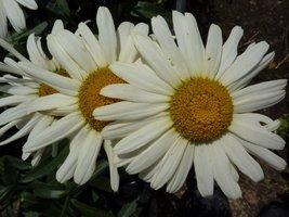 Chrysanthemum maximum (złocień właściwy)