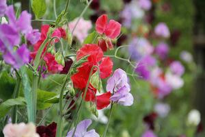 Ogród to piękne bukiety upiększające nasz dom, zupełnie za darmo (pachnący groszek)