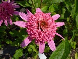 """Echinacea """"Pink Double Delight"""" ( jeżówka o pełnych, różówych kwiatach)"""