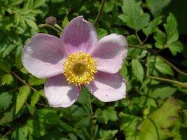 Anemone japonica   (zawilec japoński)