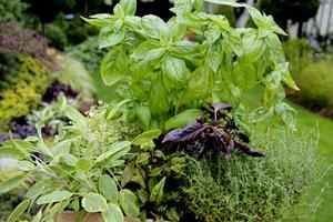 Przede wszystkim wybieramy zioła, których najczęściej używamy w domowej kuchni