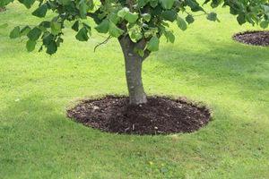 Wokół drzew, aby nie uszkodzić korzeni, polecam ściółkowanie zamiast przekopywania