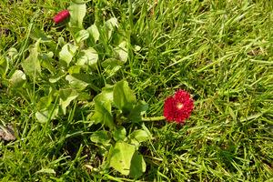 Stokrotki występujące nielicznie są nawet malownicze, ale trawnik złożony tylko ze stokrotek nie spodoba się miłośnikom idealnych trawników