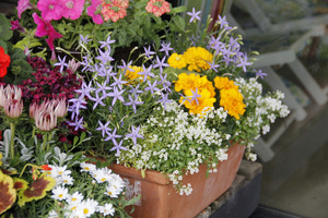 Balkonowe kwiaty sezonowe wymagają dużo pracy i systematyczności