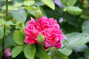 Róże należą do roślin wymagających najwięcej uwagi