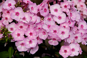 Jasnoróżowe kwiaty z ciemnym oczkiem