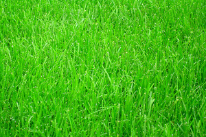 Pierwsze siewki mogą pojawić się już w 5 dni po wysiewie, ale z reguły trwa to od 7 do 21 dni. Różne gatunki traw wschodzą w różnym czasie