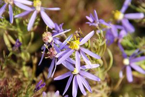 """Aster sedifolius """"Nanus"""" kwitnie wcześnie - w czerwcu i lipcu"""