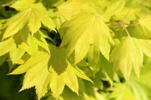 Acer shirasawanum 'Aureum' ma jaskrawo ubarwione liście o pięknym kształcie