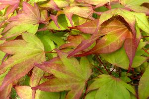 Acer palmatum 'Chitoseyama' - liście