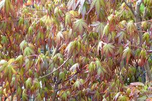Acer palmatum (odmiana nieznana, przypuszczalnie Sango-Kaku) oprócz atrakcyjnych liści ma czerwone gałązki
