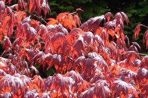 Acer palmatum  'Atropurpureum'  - liście w słońcu