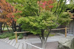 Klony w żwirze przed wejściem do ogrodu japońskiego